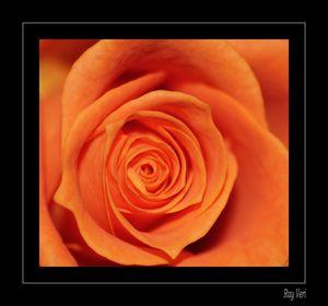 Macro Roses