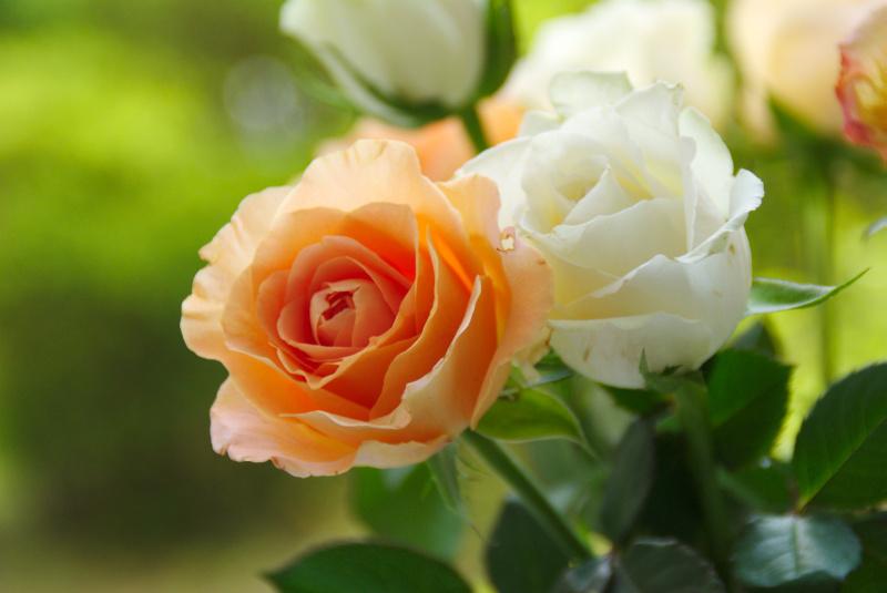 Orange und Weiße Rosen