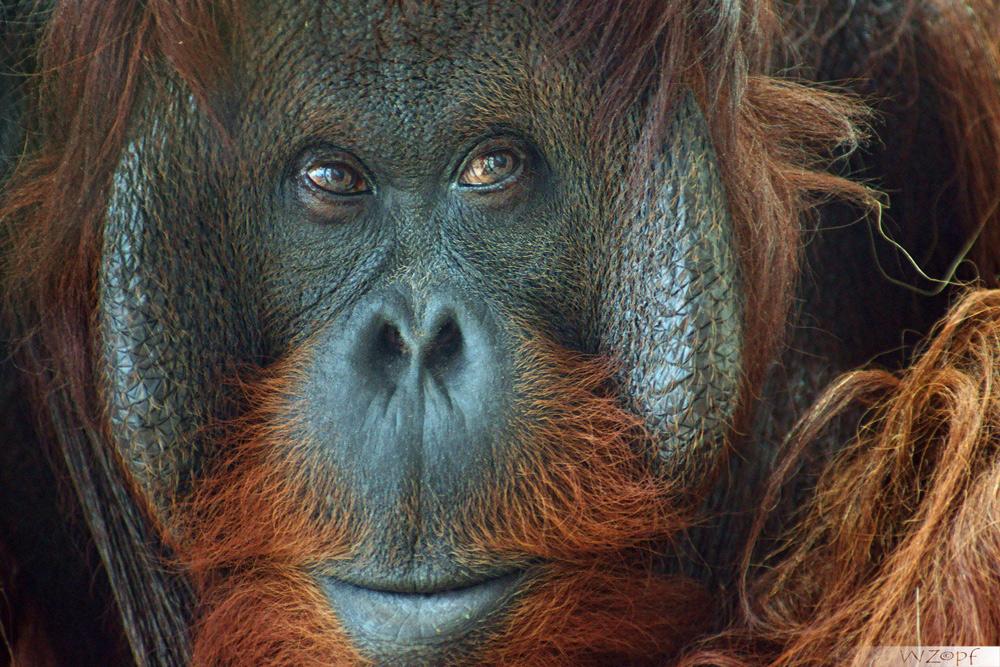 Orange Utan.