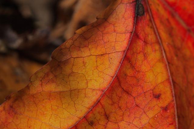 orange veins