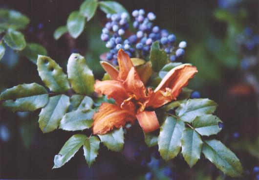 Orangeblüte mit Grün