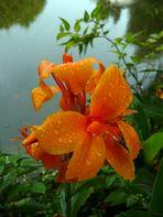 Orangefarbene Canna nach dem Regen