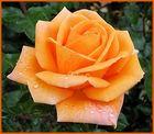 Orangefarbene Schönheit