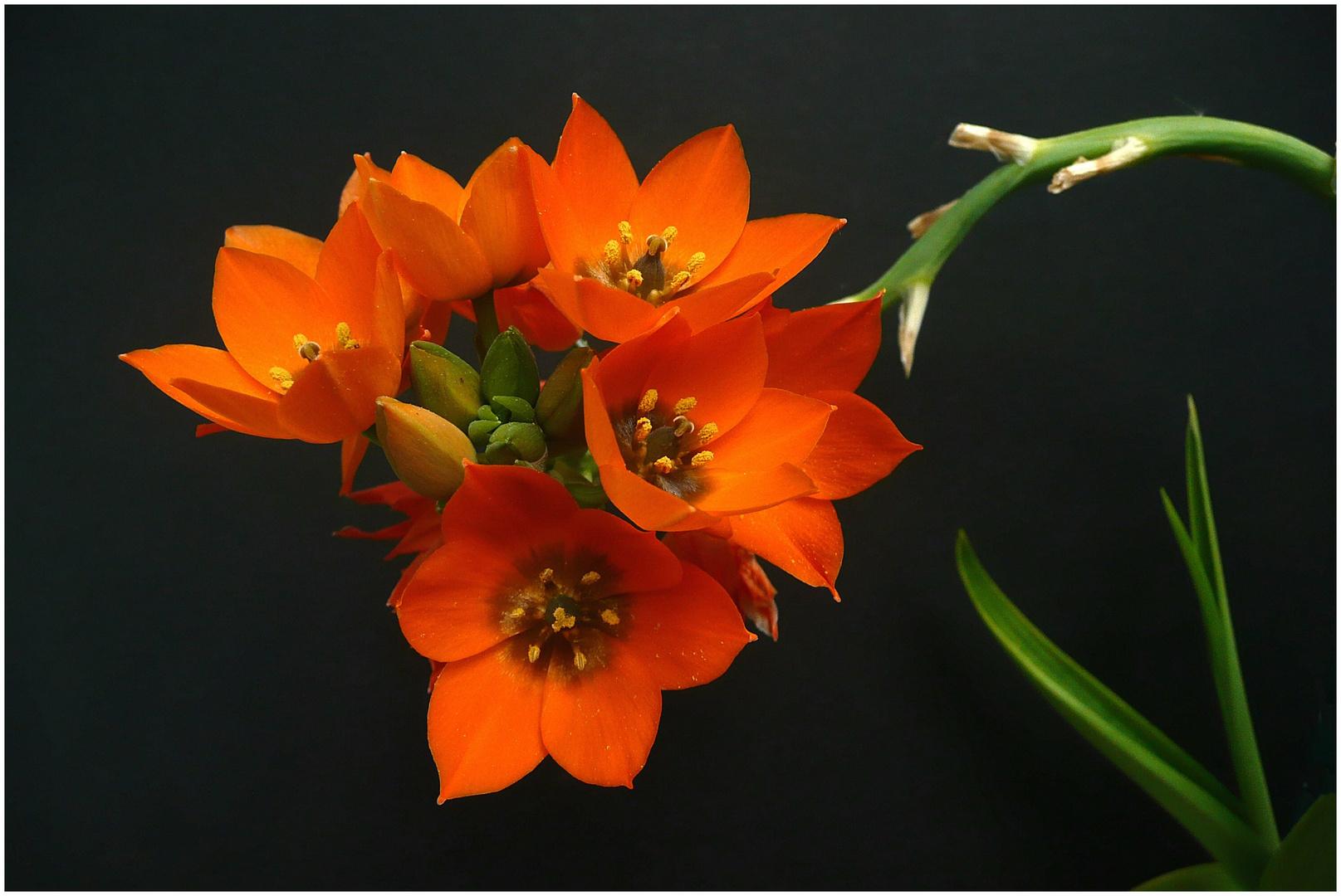 Orangefarbener Milchstern (2)