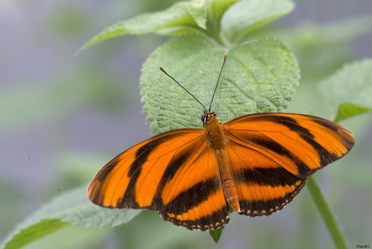 ~ orangefarbener Tiger ~