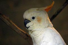 Orangehauben Kakadu