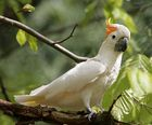 orangehauben-kakadu-chicco