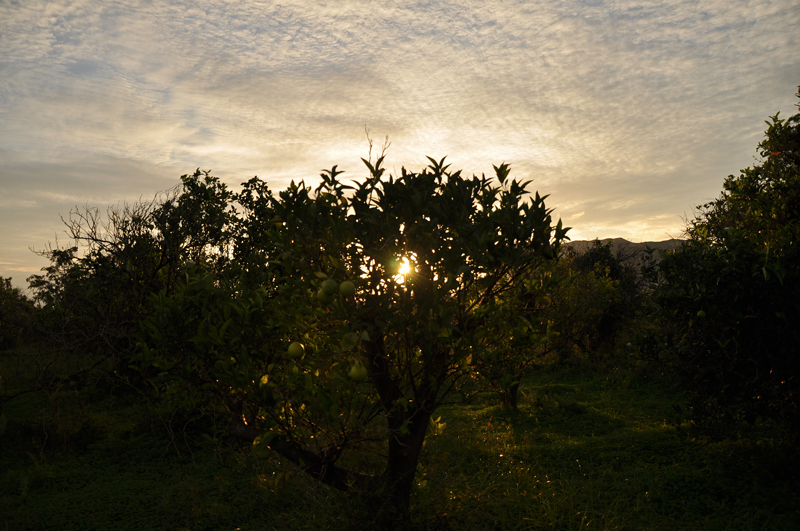 Orangenbaum bei Sonnenaufgang