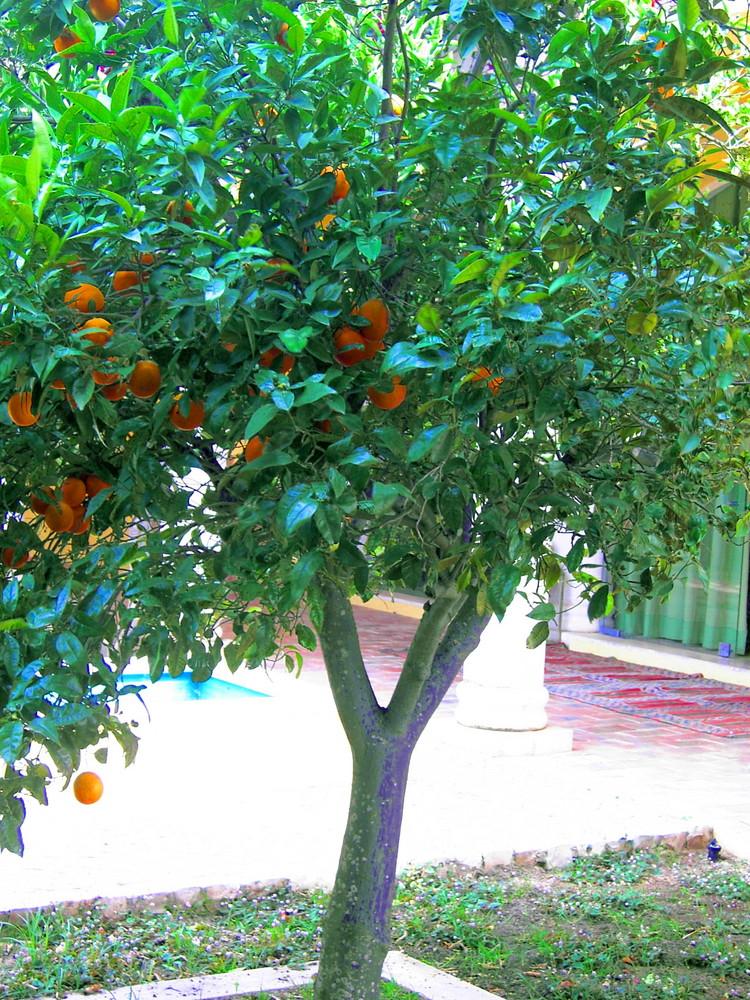 Orangenbaum in Portugal
