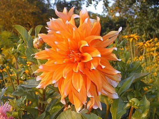 Orangenblume? (Dahlie)