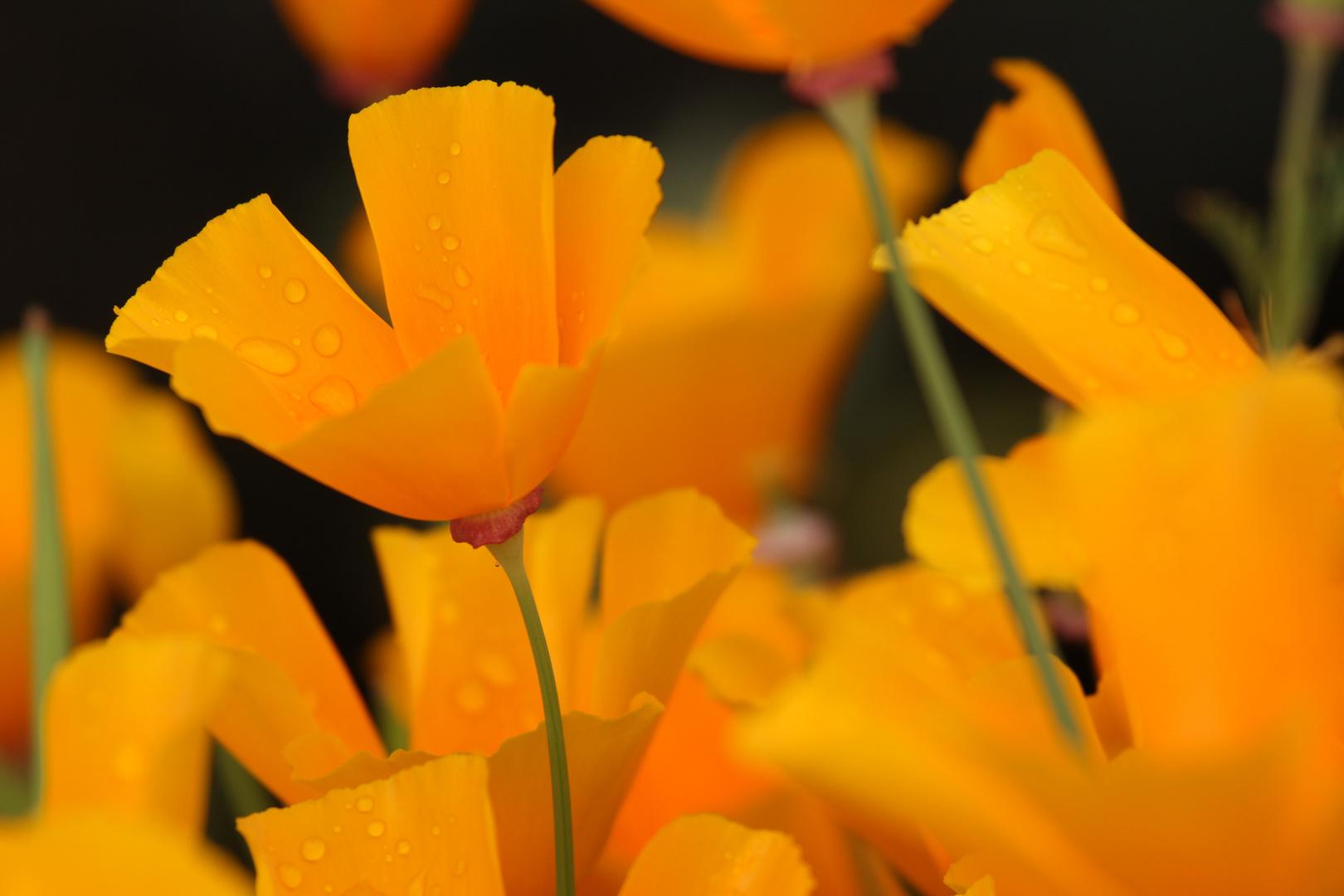 Orangene Blüte mit Regentropfen