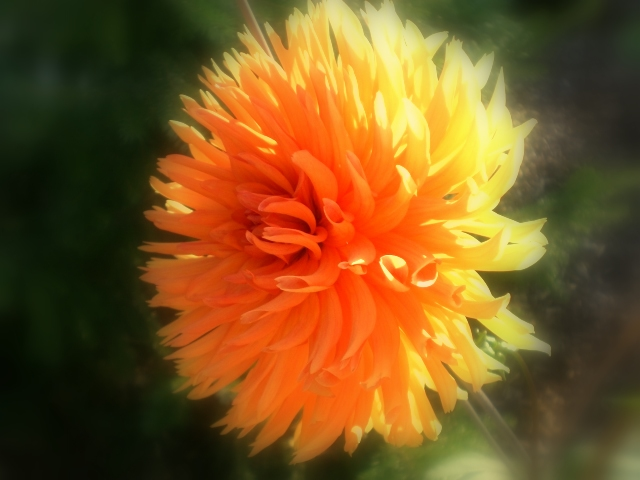 Orangene Dalie