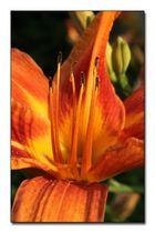 Orangene Lilie