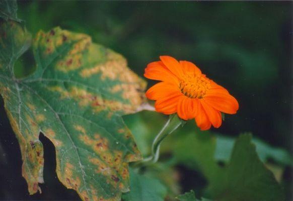 Orangene Schönheit