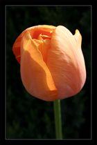 Orangene Tulpe