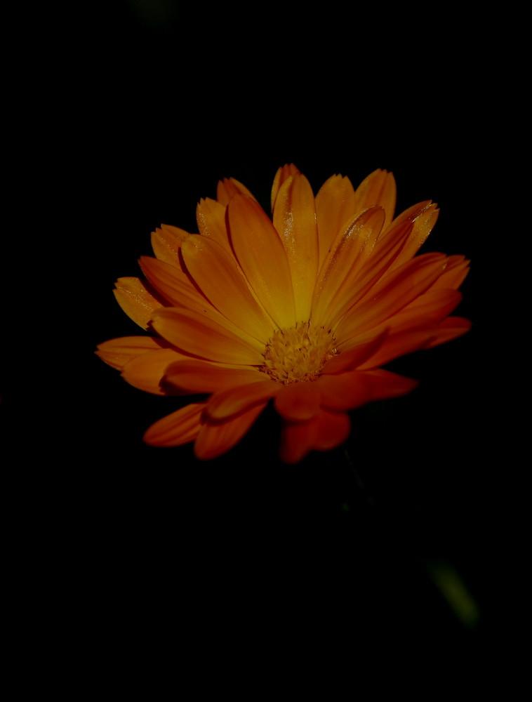 Orangenrote Ringelblume