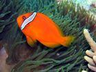 oranger Anemonenfisch im Pazifik