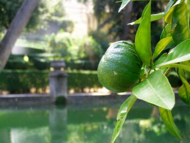 Oranger dans les jardins de la Villa d'Este (Tivoli - Italie)