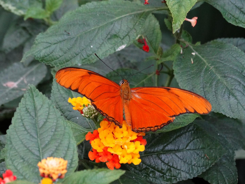 Oranger Falter auf Blume