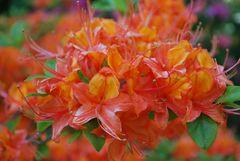 oranger Rhododendron