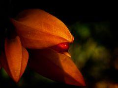 Orangerote Juanulloa (Sinnliche Blüten 2010)