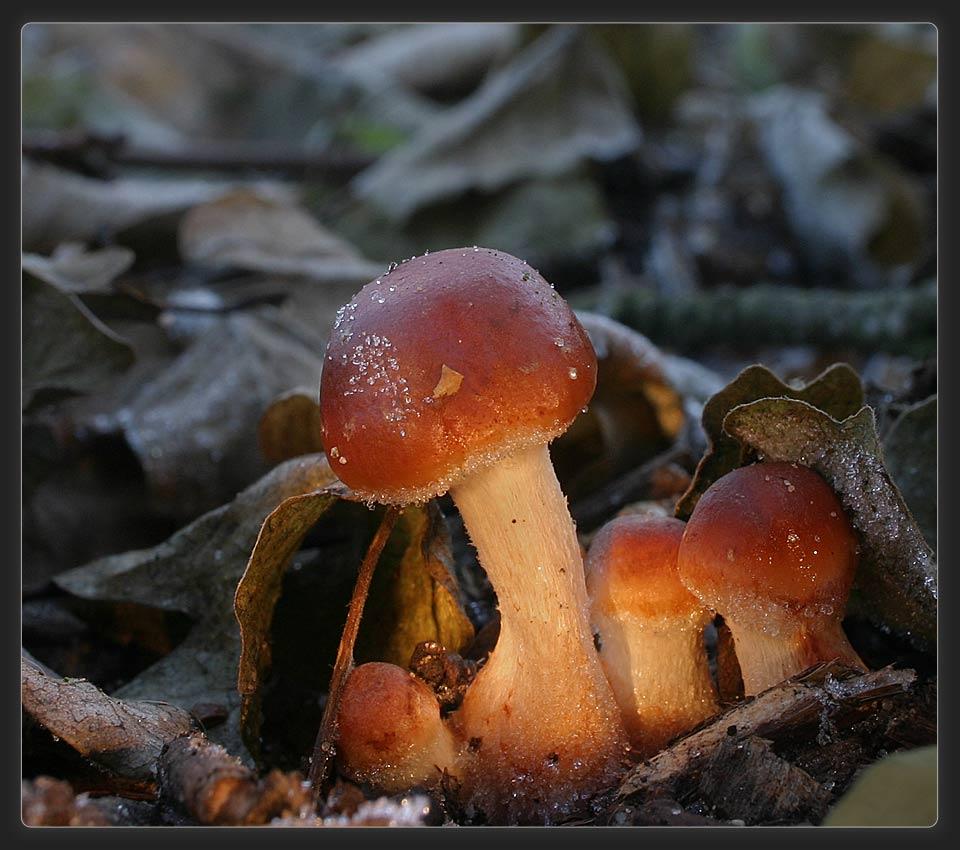 orangerote Träuschlinge