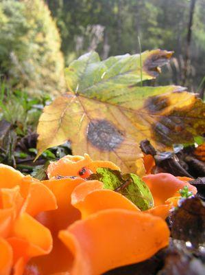 Orangeroter Becherling im Herbst