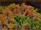 Orangeroter Kammpilz im Moos