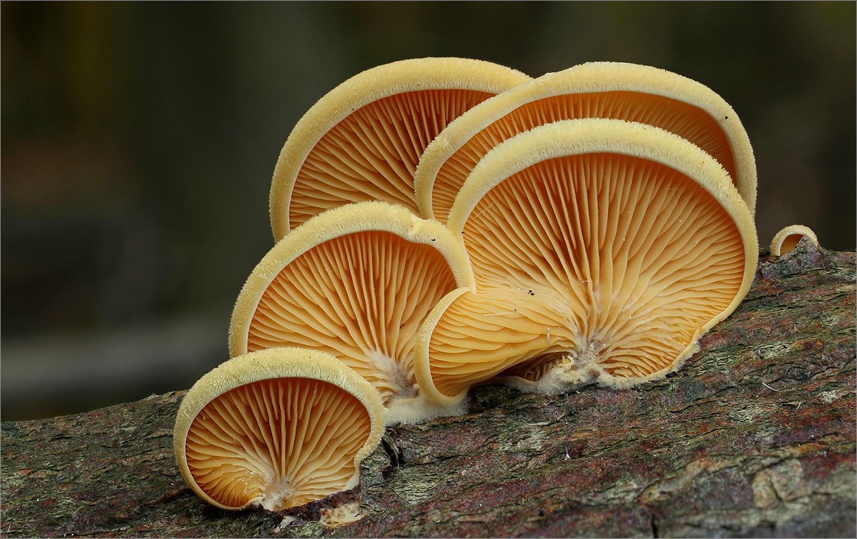 Orangeseitling (Phyllotopsis nidulanss)