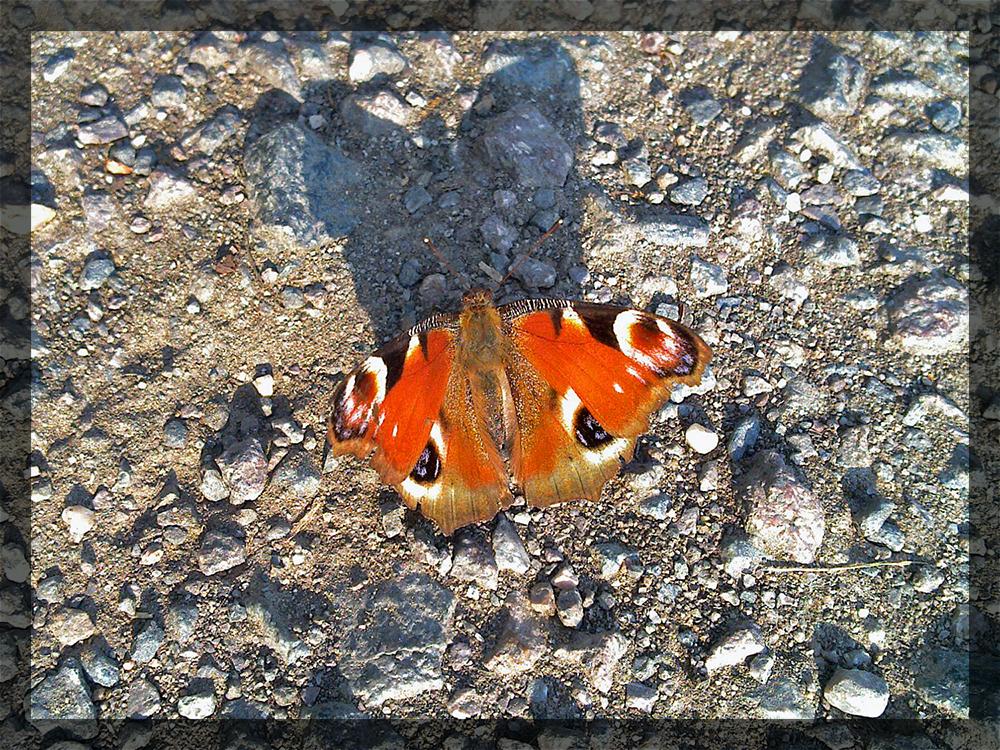 Orangfarbener Schmetterling wirft Schatten
