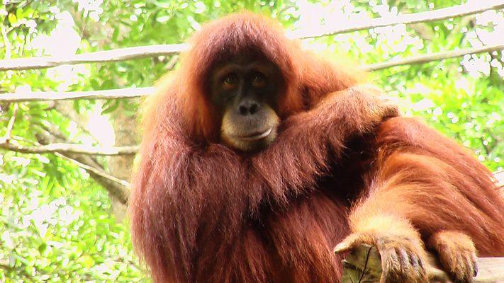 Orangutang at Singapore Zoo