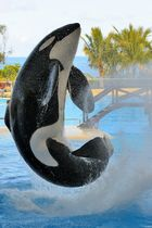 Orca - Loro Parque