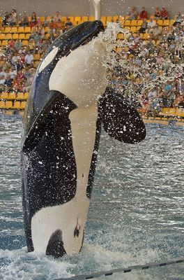 Orca Show Teneriffa