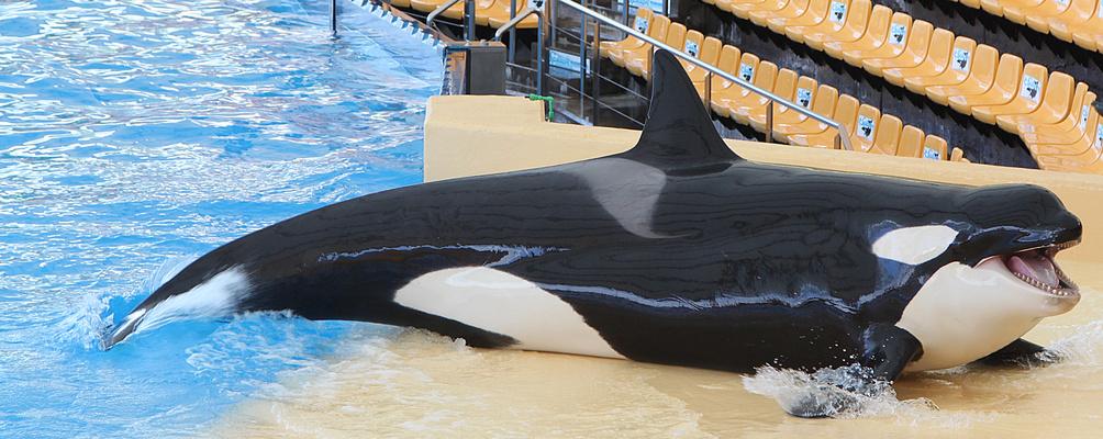 Orca-Weibchen ..
