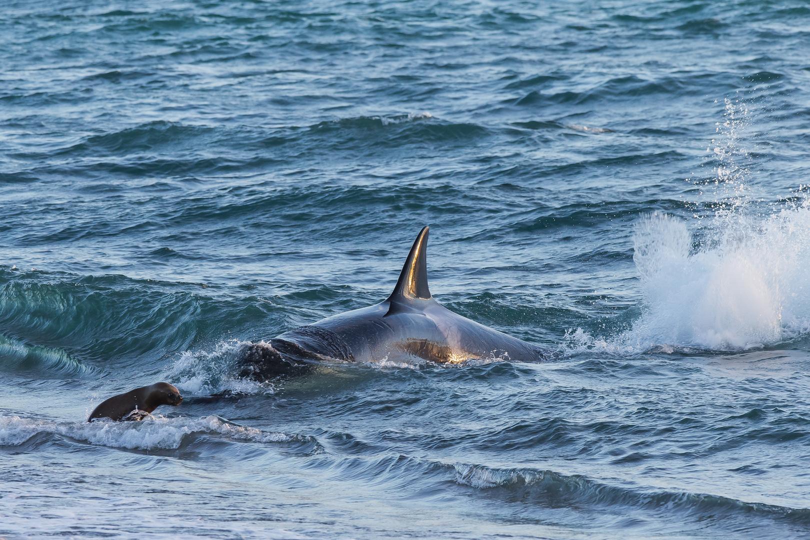 Orcas - Punta Norte, Angriffskanal - Bild12