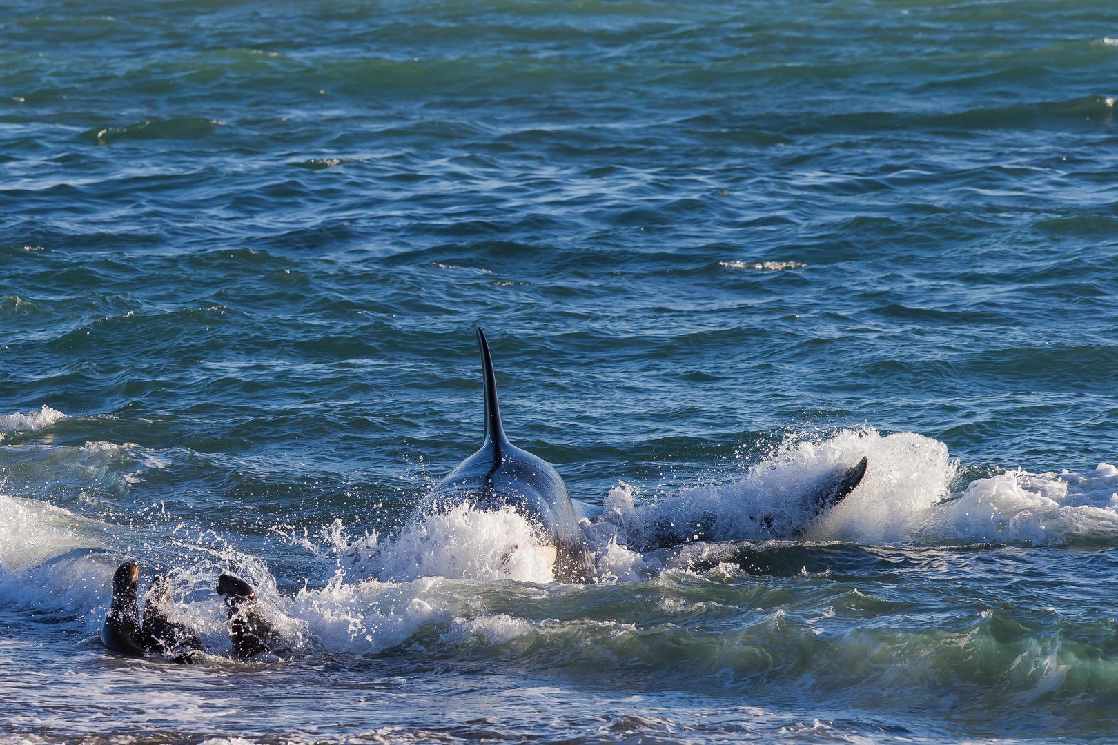 Orcas - Punta Norte, Angriffskanal - Bild13