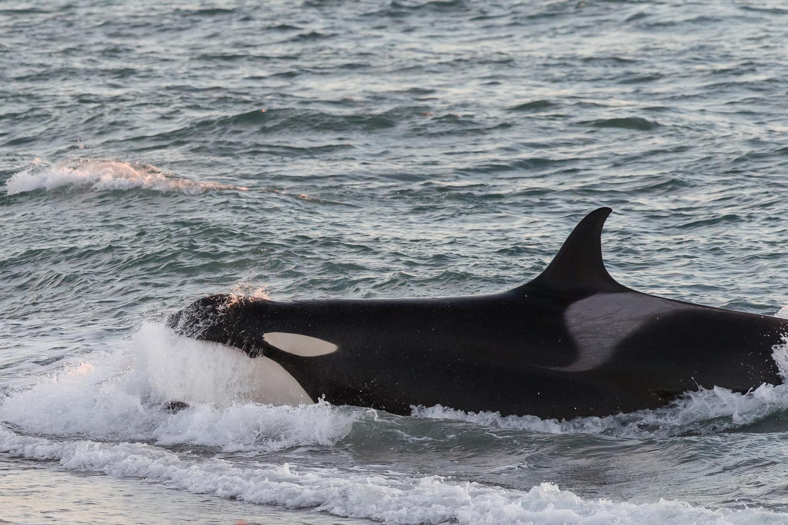 Orcas - Punta Norte, Angriffskanal - Bild15