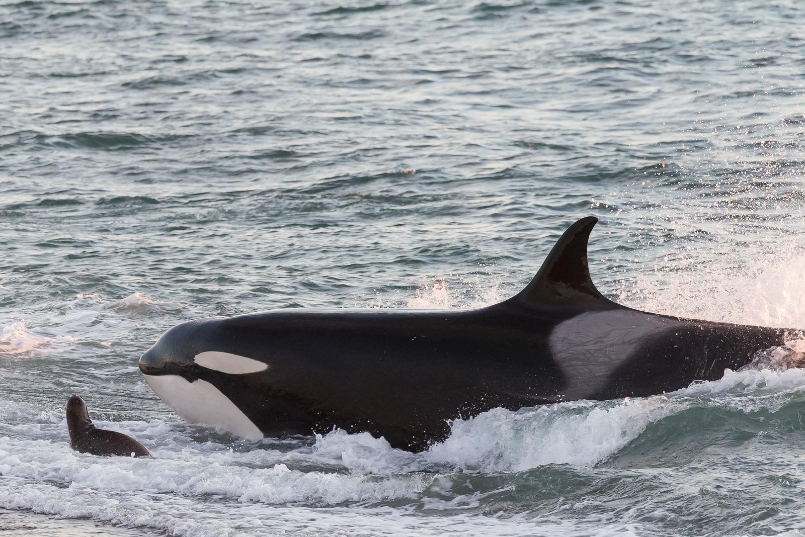 Orcas - Punta Norte, Angriffskanal - Bild16