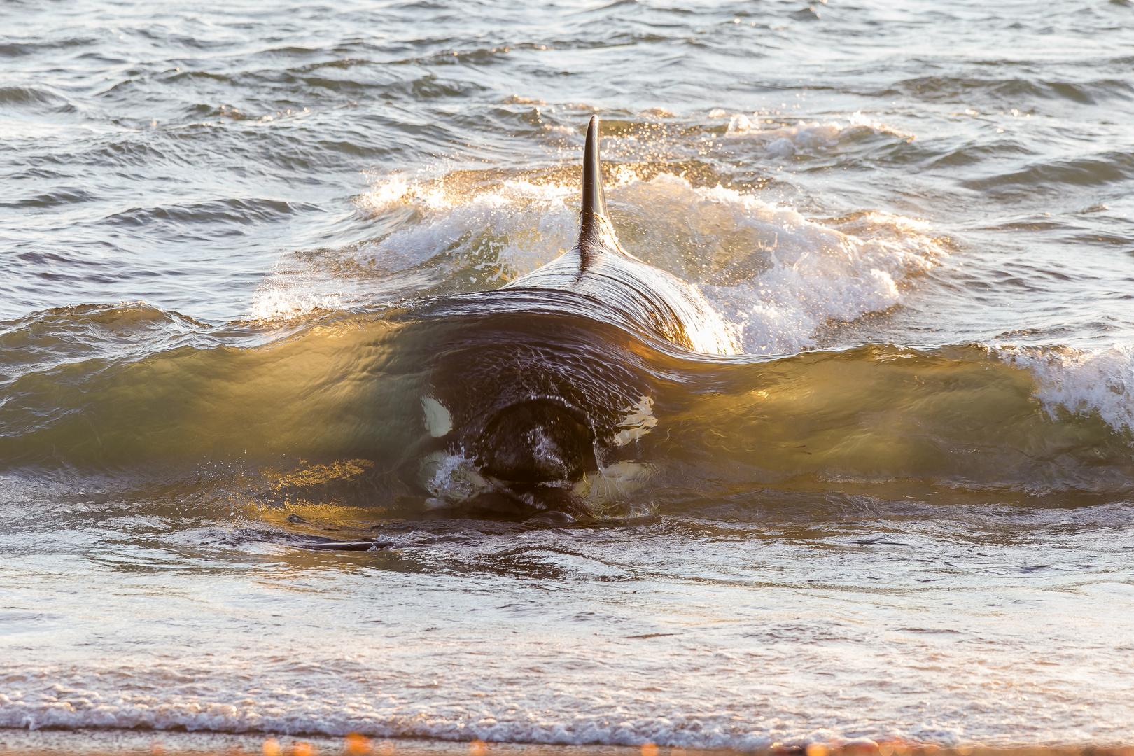 Orcas - Punta Norte, Angriffskanal - Bild4