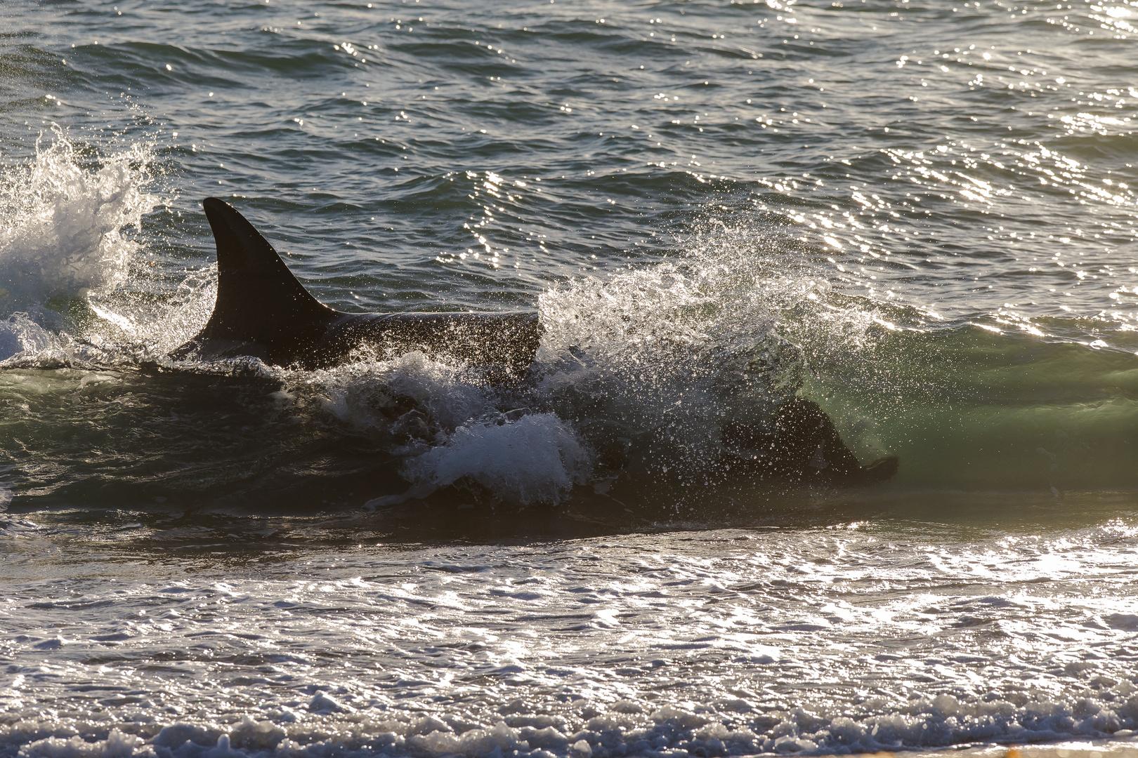Orcas - Punta Norte, Angriffskanal - Bild5