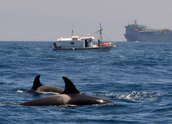 Orcas - wildlife