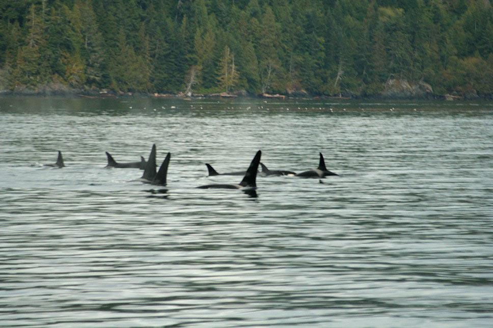 Orcasfamilie (Killerwale)