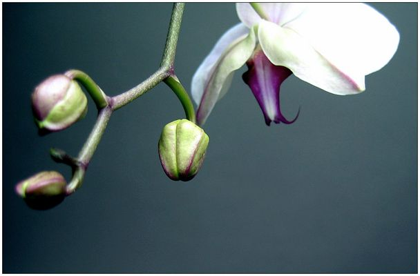Orchid [2]