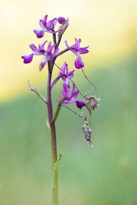 orchid alien