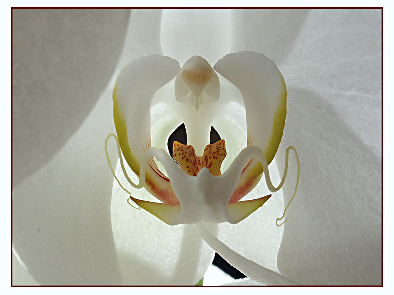 Orchid (close-up)