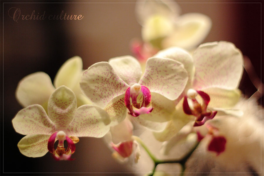 Orchid culture