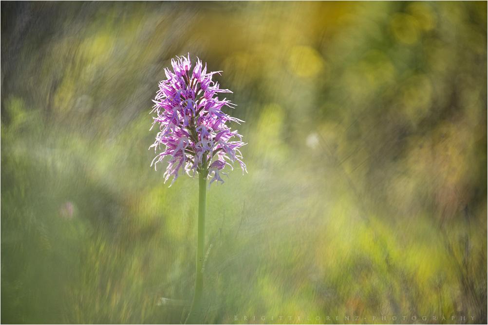 Orchid italica......