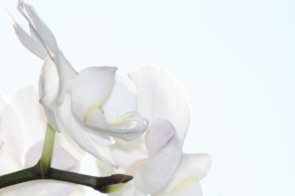 Orchid-Makro