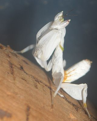 orchid praying mantis