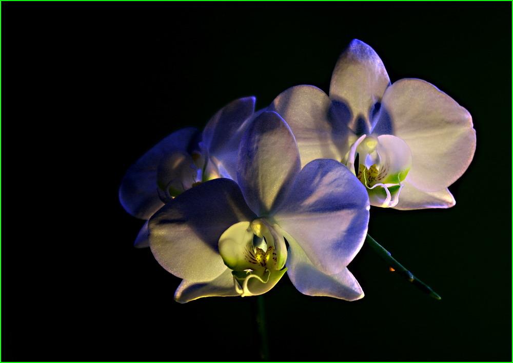 Orchid season. II